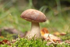 牛肝菌蕈类 图库摄影
