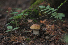 牛肝菌蕈类 库存照片