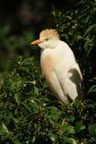 牛背鹭& x28; Bubulcus ibis& x29; 库存图片