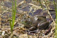 牛蛙叫在春天期间 库存图片