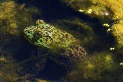 牛蛙在池塘坐 免版税库存图片