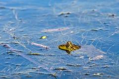 牛蛙在池塘 库存照片