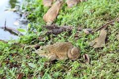 牛蛙坐草在池塘附近,两栖动物 免版税库存图片