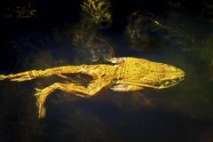 牛蛙游泳在池塘 免版税库存图片