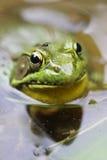 牛蛙飞行 免版税库存图片