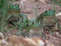 牛蛙 免版税库存图片