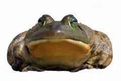 牛蛙catesbeiana蛙属 免版税图库摄影