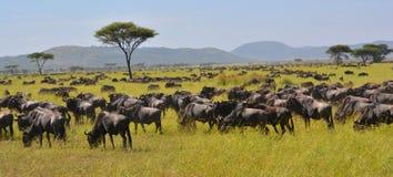 水牛角马的迁移在非洲的平原的 免版税图库摄影