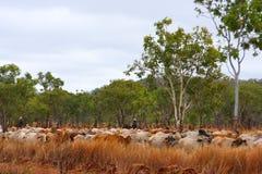 牛跟踪 免版税库存图片