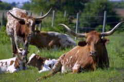 牛长角牛 免版税库存图片
