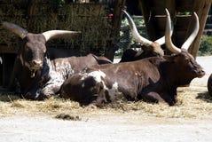 牛长角牛 免版税库存照片