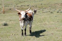牛长角牛 库存图片