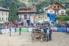 牛陈列和比赛在Brembana谷, Serina,贝加莫, Lombardia意大利 交配动物者和意大利棕色母牛 免版税图库摄影