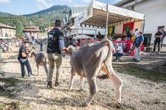 牛陈列和比赛在Brembana谷, Serina,贝加莫, Lombardia意大利 交配动物者和意大利棕色母牛 免版税库存图片
