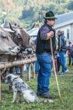 牛陈列和比赛在Brembana谷, Serina,贝加莫, Lombardia意大利 交配动物者和意大利棕色母牛 免版税库存照片