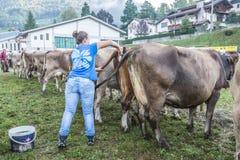 牛陈列和比赛在Brembana谷, Serina,贝加莫, Lombardia意大利 交配动物者和意大利棕色母牛 库存照片