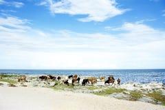 牛饮用水在马拉维湖 库存图片
