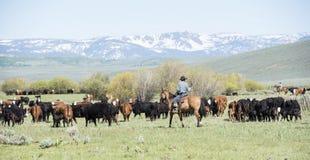 牛驱动在科罗拉多 免版税库存图片