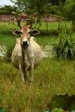 牛, Brahma猜错indicus 图库摄影