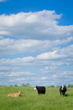 牛:三头母牛和蓝天 图库摄影