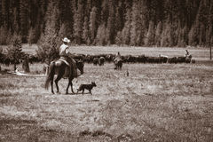牛仔、女牛仔和'cowdogs' 库存图片