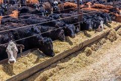 牛-吃在牛肉肥育场,拉萨勒,犹他的赫里福德干草 库存图片