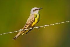 牛暴君, Machetornis rixosa,黄色和棕色鸟有清楚的背景,潘塔纳尔湿地,巴西 图库摄影