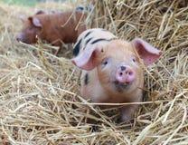 牛津和桑迪在秸杆的黑色小猪 库存图片