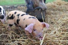 牛津和桑迪黑色小猪 免版税库存图片