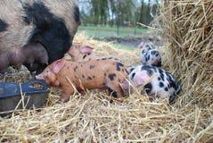 牛津和桑迪黑色小猪 免版税图库摄影
