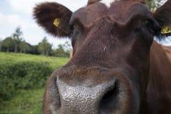 牛鼻子(口语母牛) 免版税图库摄影