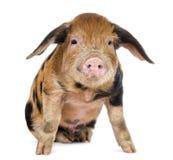牛津桑迪和黑色小猪, 9个星期年纪 图库摄影
