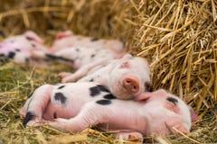牛津桑迪和黑小猪睡觉 库存照片