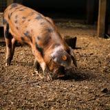 牛津桑迪和黑小猪 库存照片