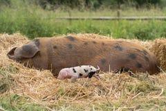 牛津桑迪和黑母猪和小猪 库存照片