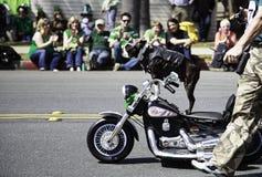 牛头犬在圣帕特里克的天游行的骑马摩托车 免版税库存照片