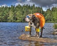 牛头犬在有floaties的湖在HDR 免版税库存照片