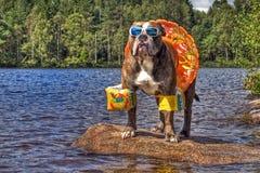 牛头犬在有floaties的湖在HDR