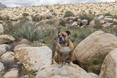 牛头犬在沙漠 免版税库存图片