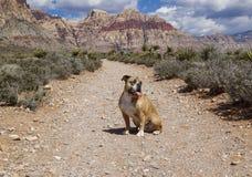 牛头犬在红色岩石的沙漠 库存照片