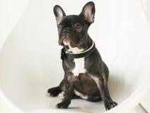 牛头犬法国小的小狗 免版税库存照片
