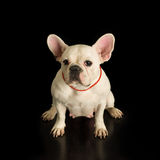 牛头犬法语 免版税库存照片