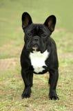牛头犬法语 库存图片