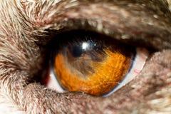 牛头犬的眼睛 免版税库存图片