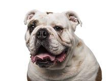 6牛头犬英国老年 免版税库存图片