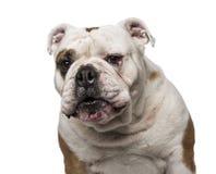 6牛头犬英国老年 库存图片