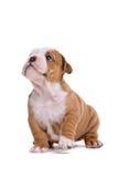 牛头犬英语小狗 免版税库存图片