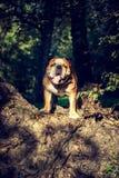 牛头犬逗人喜爱的英国纵向 免版税图库摄影