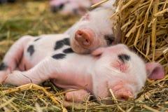 牛津的桑迪和一起睡觉黑的小猪 库存照片