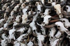 水牛头骨的骨头 免版税库存照片